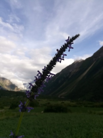 Days spent collecting wild lavender